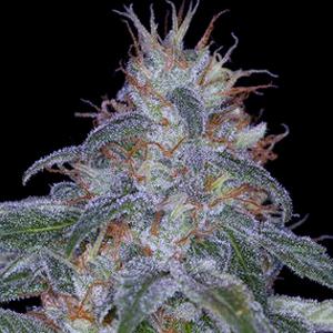 Black Widow Marijuana Strain Review Discovers White Widow