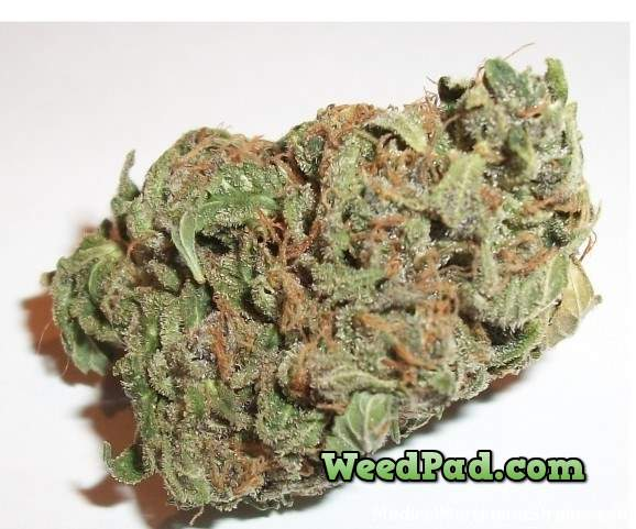 Tangerine Kush marijuana strain